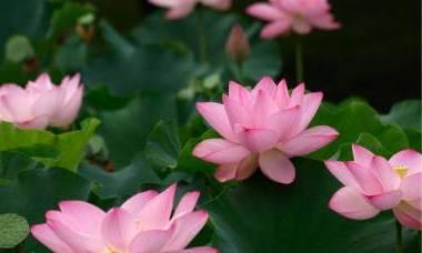лотос по гороскопу цветов