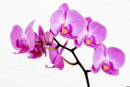 orhidei-original