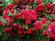 саженцы роз осенью