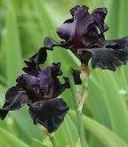 Ирисы черные луковичные