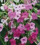 табак цветы