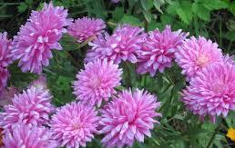 Гороскоп цветов в сентябре - астры