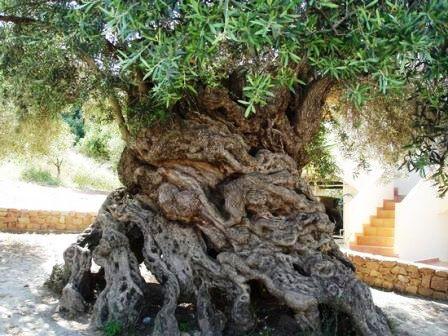 продолжительность жизни деревьев - таблица