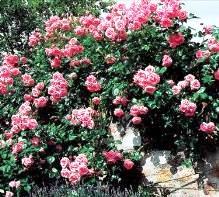 цветы с тлей