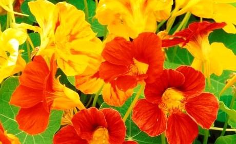 Чем полезны цветки настурции