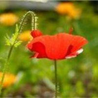 Маки: цветы на даче