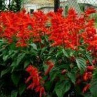 Сальвия блестящая описание фото цветов посев уход