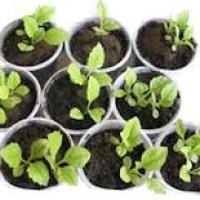 Рассада цветов, правила выращивания