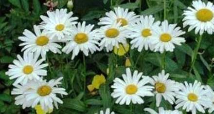 Ромашка садовая многолетняя - посадка и уход, размножение 25