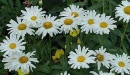 Ромашка садовая крупная многолетняя посадка и уход