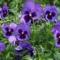 Однолетние цветы — схема посадки