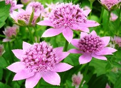 Фото тенелюбивых цветов в саду