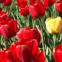 Посадка тюльпанов весной — когда и как посадить