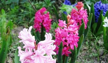 Луковичные цветы осенью, схемы посадки