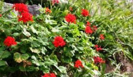 Герань садовая многолетняя посадка и уход в открытом грунте фото