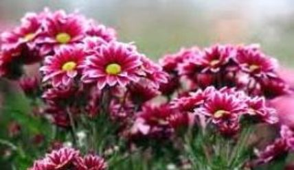 Хризантема кустовая сорта