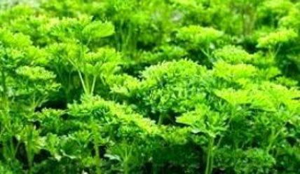 Выращивание укропа, петрушки и другой зелени на даче