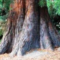 Продолжительность  жизни деревьев — таблица