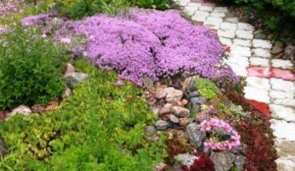 Спирея японская: размножение семенами, отводками, черенками