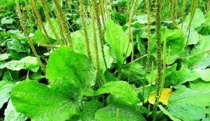 Отвар из трав насыщен целебными свойствами