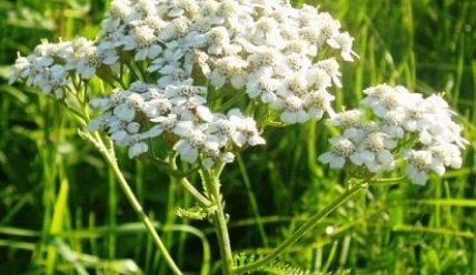 Тысячелистник садовый — фото, лечебные свойства
