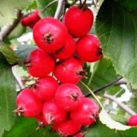 Боярка ягода: полезные свойства