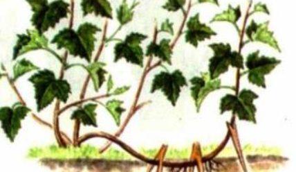 Размножение растений своими частями 2 класс окружающий мир