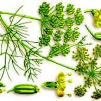 Фенхель — лечебные свойства и противопоказания
