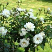 Что это такое роза флорибунда