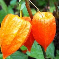 Физалис овощной — рецепты приготовления на зиму