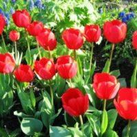 Когда посадить тюльпаны чтобы расцвели к 8 марта