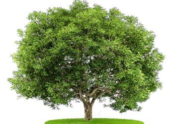 хвойное и лиственное дерево фото
