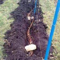 Обработка винограда осенью перед укрытием на зиму