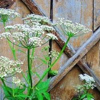 Трава сныть — фото, полезные свойства и рецепты