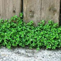 Трава мокрица — лечебные свойства, фото