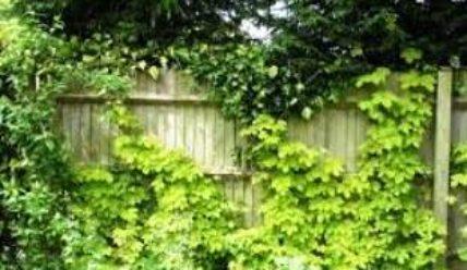 Хмель — растение, фото